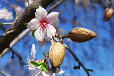 mandula virág és termés